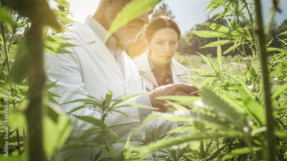 Fototapety, obrazy: Researchers checking hemp plants in the field