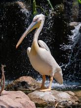 Pelican (Pelecanidae) Large Wa...