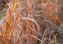 Tall Autumn Grass Blurred Background