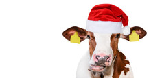 Funny Cow Isolated In Christma...