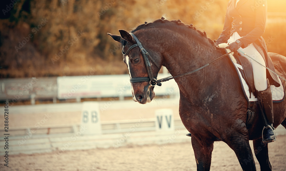Fototapeta Equestrian sport. Portrait sports brown stallion in the bridle. The leg of the rider in the stirrup, riding on a red horse.