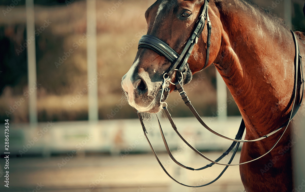 Fototapeta The muzzle is sports brown stallion in the bridle. Dressage horse.