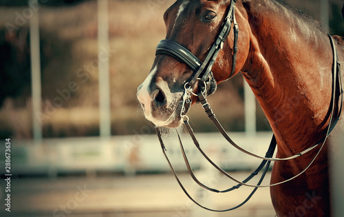 In de dag Paarden The muzzle is sports brown stallion in the bridle. Dressage horse.