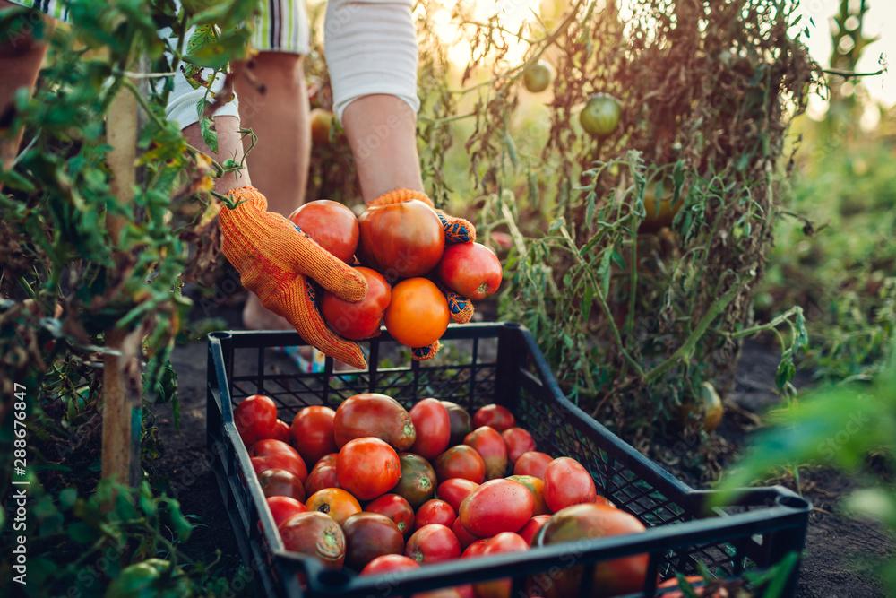 Fototapety, obrazy: Woman farmer putting tomatoes in box on eco farm. Gathering autumn crop of vegetables. Farming, gardening