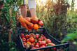 canvas print picture - Woman farmer putting tomatoes in box on eco farm. Gathering autumn crop of vegetables. Farming, gardening