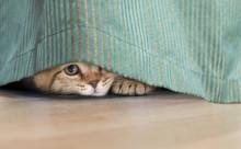 Funny Cat Hidden Under Curtain