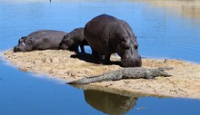 When African Rivers Dry Up Due To Drought Some Animals Are Forced Into Close Proximity Such As Hippos And Crocodiles.Female Hippos Are Very Protective Of Their Young And Will Kill To Protect.