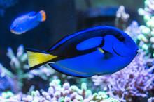 Blue Tang Fish In Aquarium