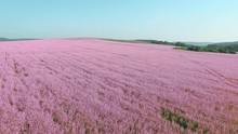 4K Aerial View Of Eco Field With Pink Flower Meadow. 4K.