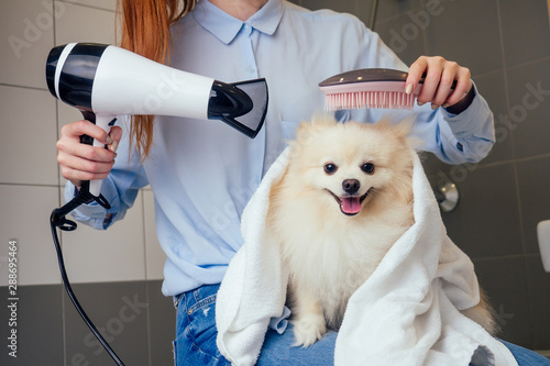 Foto happy redhaired ginger woman blowing dry the spitz dog hair wiping with a bath t