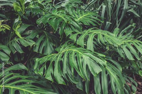zielone-liscie-filodendronu-monstera-rosliny-rosnace-w-ogrodzie-botanicznym-rosliny-tropikalnego-lasu-wiecznie-zielone-winorosl-streszczenie-tlo