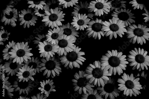 blackeyed susan Fototapet