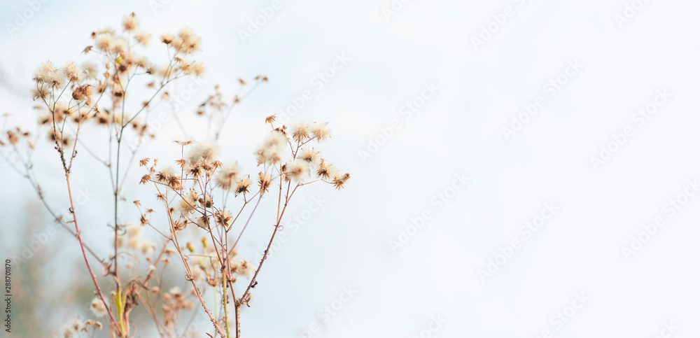 Fototapeta Autumn background - Stems of dry grass on a blurred grey background, soft focus, copy space