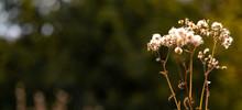 Autumn Background. Stalk Of Dr...