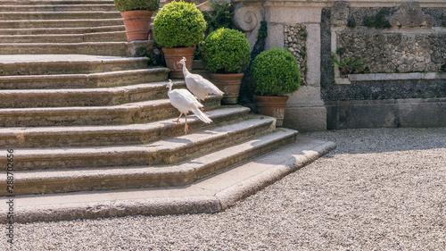 Foto op Aluminium Pauw Two beautiful white peacocks climb the stairs of the ancient Borromeo palace on Isola Bella, Lake Maggiore, Italy