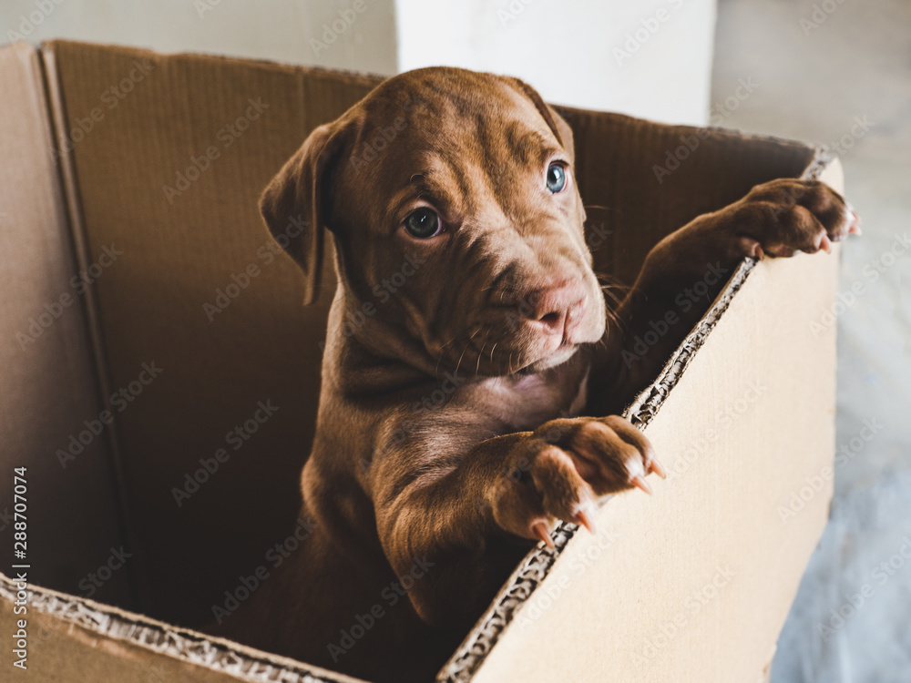Fototapety, obrazy: Cute puppy of chocolate color standing on hind legs in a cardboard box. Close-up, indoor. Concept of care, education, obedience training, raising of pets