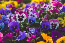 Flower Pansy Viola Wittrockiana