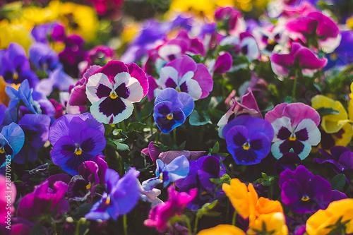 Canvas Prints Pansies Flower pansy viola wittrockiana