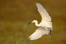 Close Up Of Little Egret Flying Mid Air