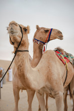 A Pair Of Camels In The Desert
