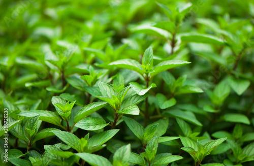 Obraz Mint plant grow at the vegetable garden - fototapety do salonu
