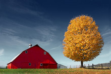 Golden Tree And Red Barn Again...