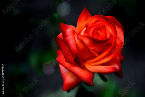 Single red and orange rose, northern Andes mountains, Colombia