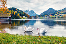 Two White Swans On The Grundls...