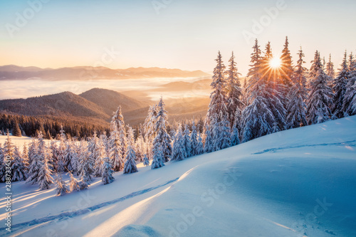 Obraz Impressive winter morning in Carpathian mountains with snow covered fir trees. Colorful outdoor scene, Happy New Year celebration concept. Artistic style post processed photo. - fototapety do salonu