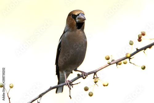 Fotomural Hawfinch, birds, Coccothraustes coccothraustes