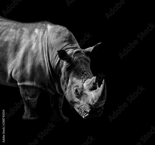 La pose en embrasure Rhino Wild animals in black and white