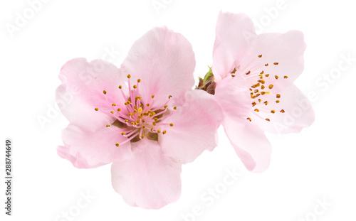 Fényképezés Cherry blossom, sakura flowers isolated