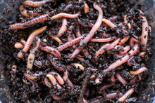 Many Living Earthworms For Fishing In The Soil, Background