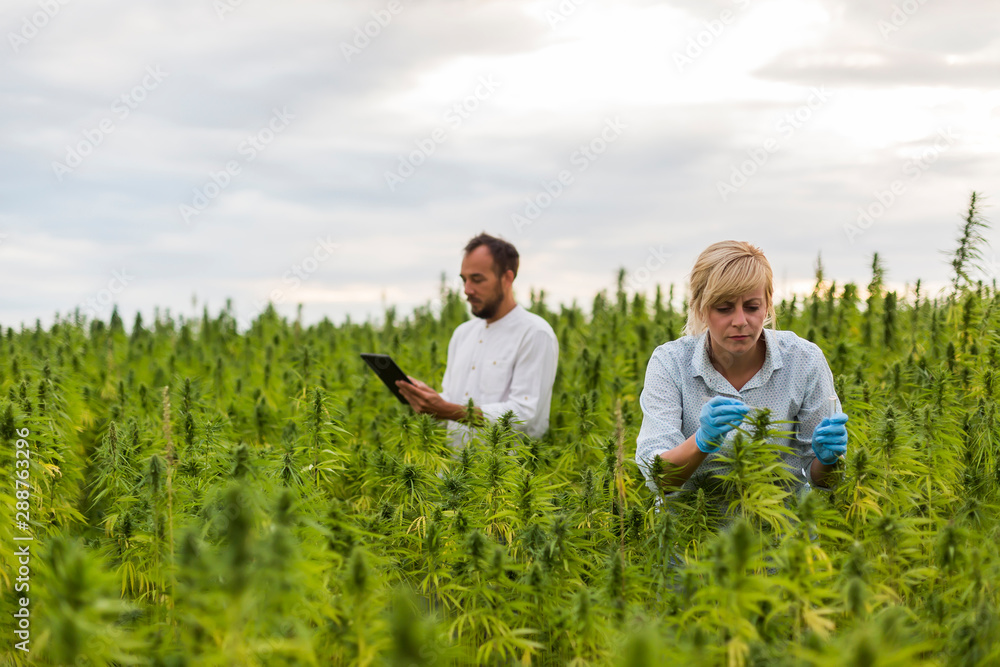 Fototapety, obrazy: Two people observing CBD hemp plants on marijuana field and writing results in tablet