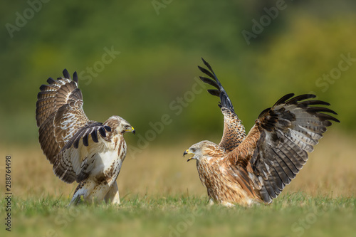 Red Kite vs Common Buzzard/on the meadow