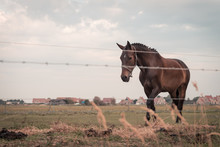 Approaching Large Dressage Horse With Knots In Its Mane, 2 Horses Are Grazing In A Meadow Somewhere On Ameland, The Sun Sets