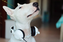 Bull Terrier Dog Wearing Some Music Helmets In His Ears.