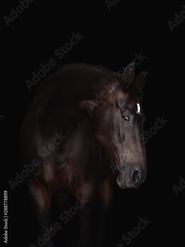 Fototapety, obrazy: portrait of beautiful bay horse isolated on black background