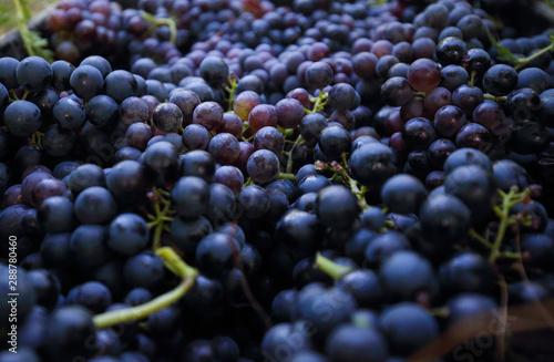 Fotografia  Bunch of grape on branch in vineyard