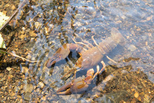 River Crayfish In Its Natural ...