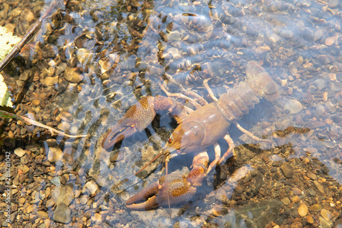 River crayfish in its natural habitat. Fototapet