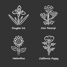 Wild Flowers Chalk Icons Set. Douglas Iris, Cow Parsnip, Helianthus, California Poppy. Blooming Wildflowers, Weed. Spring Blossom. Field, Meadow Herbaceous Plants. Isolated Chalkboard Illustrations