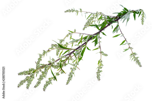 Artemisia absinthium with leaves isolated on white background Canvas Print
