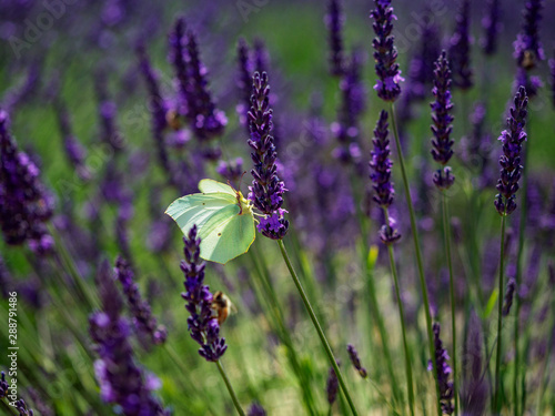 Aluminium Prints Butterfly Yellow butterfly in golden light on stem of lavender