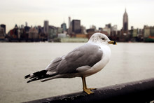 Seagull Against New York City ...