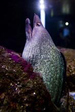 Eel In The Aquarium Of Ubatuba...