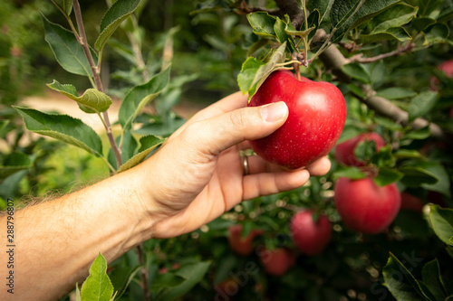 Leinwand Poster Hand picking ripe apple from the tree in an orchard