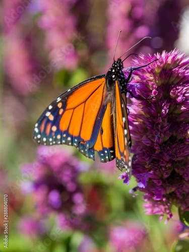 Monarch Butterfly on Purple Wild Flower, Close Up