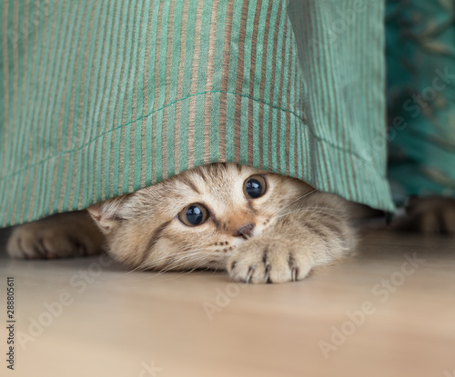 funny cat stealing under portiere