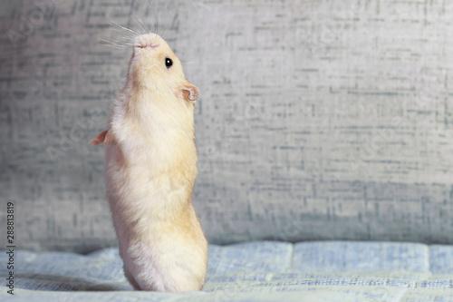 Obraz na plátne Fluffy dwarf hamster stands on its hind legs on blue background